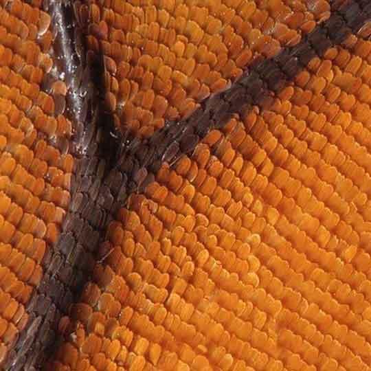 Asas das borboletas monarca no microscópio