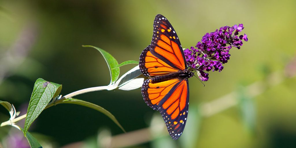 Como criar um jardim de atração para as monarcas