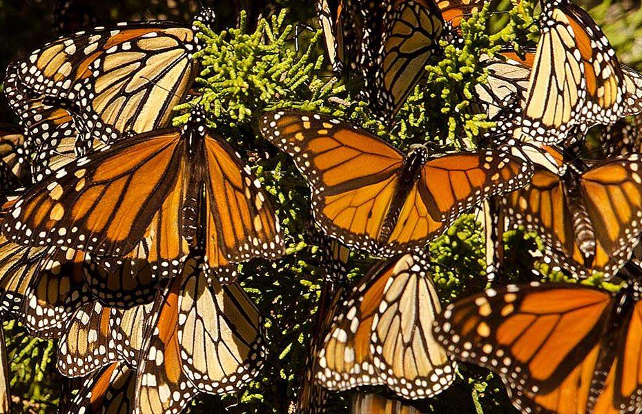 A borboleta monarca está em perigo